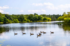 Serene lake with ducks Stock Images