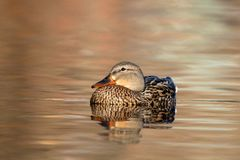 Serene Mallard Duck. A female mallard duck resting in the shallow water in the last light of the evening Stock Photo