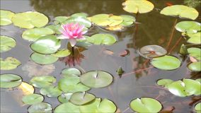 Serene Pond. With lily pads stock video