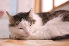Serene quiet cat napping after dinner close. Up photo Royalty Free Stock Images