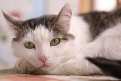 Serene quiet cat napping after dinner. Close up photo Stock Images
