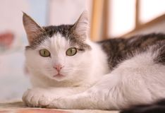 Serene quiet cat napping after dinner Royalty Free Stock Photography