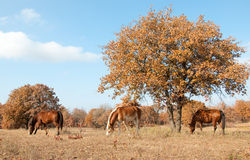 Serene scene of three horses grazing in au Stock Photos