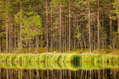Serene sunny morning forest reflection Royalty Free Stock Photo
