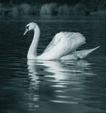 Serene Swan on Lake. A swan looking elegant as it floats on the lake stock photos