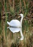 Serene Swan op Golvende Vijver met Bezinning stock afbeeldingen