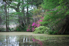 Serene view of pond near the red bridge bridge at Magnolia Plantation in Charleston. Serene view in springtime of gorgeous magenta flowers across the pond near Royalty Free Stock Photo