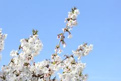White Prunus blossom in a blue sky, Betuwe. Netherllands Royalty Free Stock Images