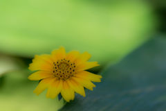 Serene Yellow Flower Fotografia Stock