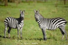 serengeti二匹斑马 图库摄影