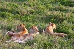 serengeti гордости льва Стоковые Фотографии RF