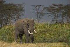 serengeti национального парка Африки животное одичалое Стоковые Фотографии RF
