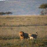 serengeti национального парка львицы льва стоковые фото