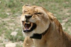 serengeti Танзания сафари льва Африки женское Стоковые Фото