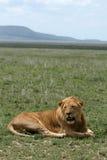 serengeti Танзания сафари льва Африки мыжское Стоковое фото RF