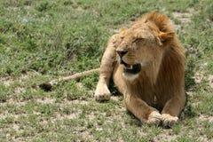 serengeti Танзания сафари льва Африки Стоковая Фотография RF