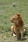 serengeti Танзания сафари льва Африки Стоковые Фотографии RF