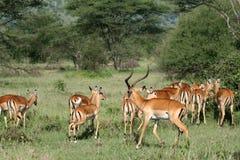 serengeti Танзания impala антилопы Африки Стоковые Изображения RF