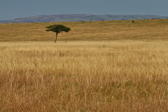 Serengeti. Landscape view of open golden grassland with single acacia tree against blue sky in Serengeti Masai Mara ecosystem, East Africa Royalty Free Stock Photos