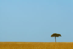 Serengeti. Landscape view of open golden grassland with single acacia tree against blue sky in Serengeti Masai Mara ecosystem, East Africa Royalty Free Stock Image