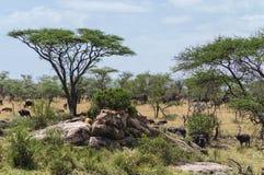 serengeti stockfotografie