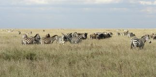 Serengeti animals in high grass Royalty Free Stock Photo