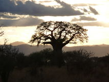 Serengeti Baobab Stock Photography