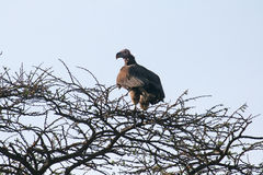 Serengeti-Bussard stockbild