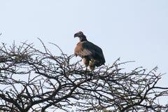 Serengeti buzzard Stock Image
