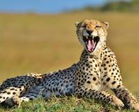 Serengeti Cheetah Royalty Free Stock Photography