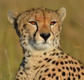 Serengeti Cheetah Stock Image