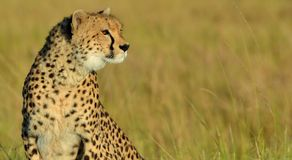 Serengeti Cheetah Stock Photography