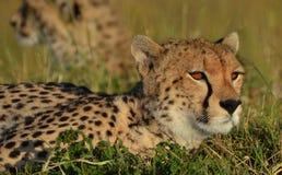 Serengeti Cheetah Stock Photo
