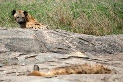 serengeti d'hyène de l'Afrique Image stock