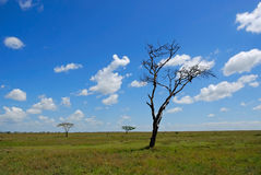 Serengeti, dead tree Royalty Free Stock Photography