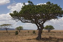 Serengeti di paesaggio 028 dell'Africa Fotografia Stock