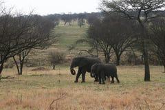 Serengeti elephants Stock Images