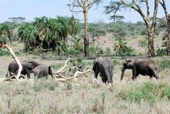 Serengeti för afrikanska elefanter för grupp nationalpark Arkivfoto