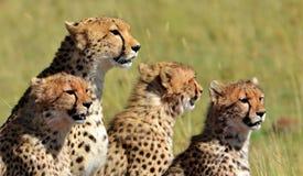 Serengeti gepardfamilj Arkivfoton
