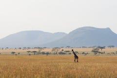 Serengeti giraffe Stock Image