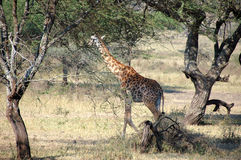 serengeti giraffe Стоковые Фотографии RF