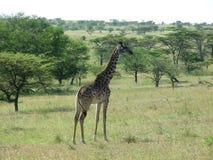 serengeti giraffe Стоковая Фотография RF