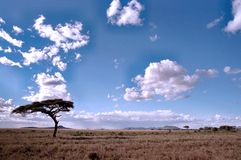 Serengeti landscape. With acacia tree. Tanzania royalty free stock images