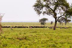 Serengeti landscape with zebras and blue wildebeest. Field with zebras Equus and blue wildebeest Connochaetes taurinus, common wildebeest, white-bearded Stock Photo