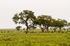 Serengeti landscape with zebras and blue wildebeest. Field with zebras Equus and blue wildebeest Connochaetes taurinus, common wildebeest, white-bearded Royalty Free Stock Image