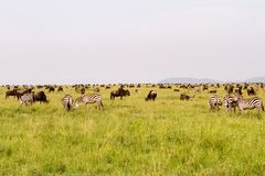 Serengeti landscape with zebras and blue wildebeest. Field with zebras Equus and blue wildebeest Connochaetes taurinus, common wildebeest, white-bearded Stock Photos
