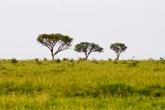 Serengeti landscape with zebras and blue wildebeest. Field with zebras Equus and blue wildebeest Connochaetes taurinus, common wildebeest, white-bearded Stock Photography