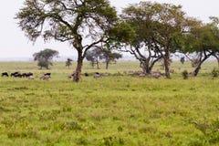 Serengeti-Landschaft mit Zebras und Gnus im Hintergrund stockbild