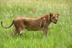 Serengeti lejon Royaltyfria Bilder