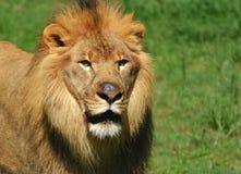 Serengeti lew Zdjęcie Stock